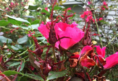 Frequently Asked Question About Rose Rosette Virus   Home