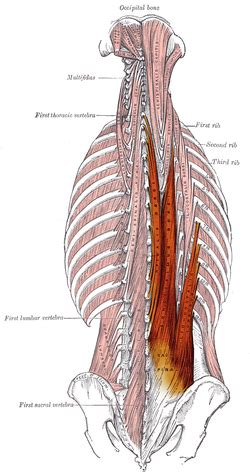 Erector spinae muscles - Wikipedia