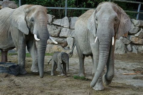Zoo Vienna's Elephant Calf is a Conservation Success