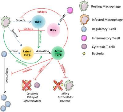 Frontiers   Deletion of TGF-β1 Increases Bacterial