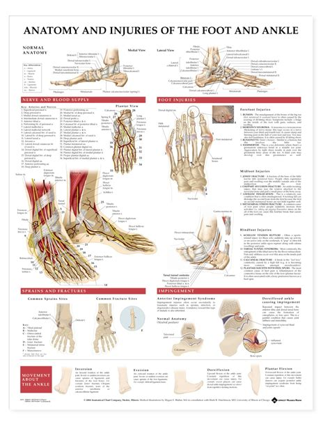 Anatomy and Injuries of the Foot and Ankle Anatomical